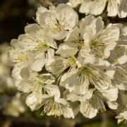 Cerisier en fleurs 2020 04 1