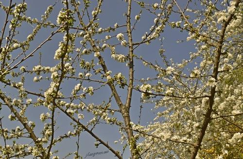 Cerisier en fleurs 2020 04 3